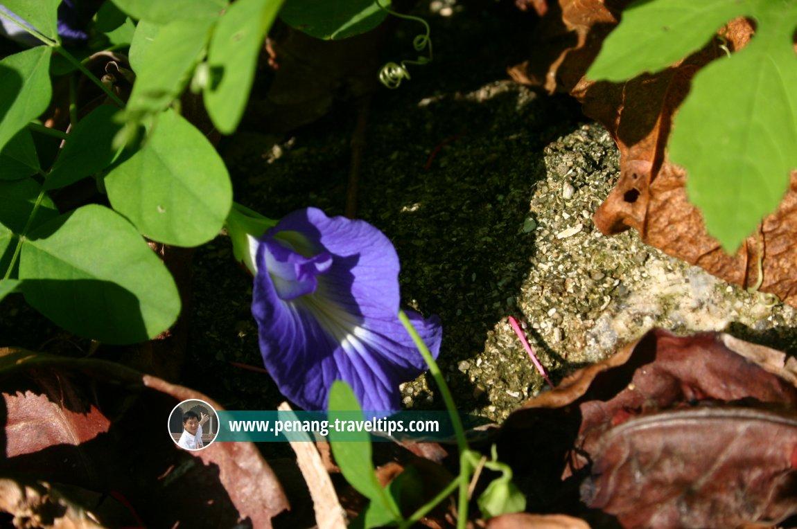 Bunga telang growing in Permatang Damar Laut