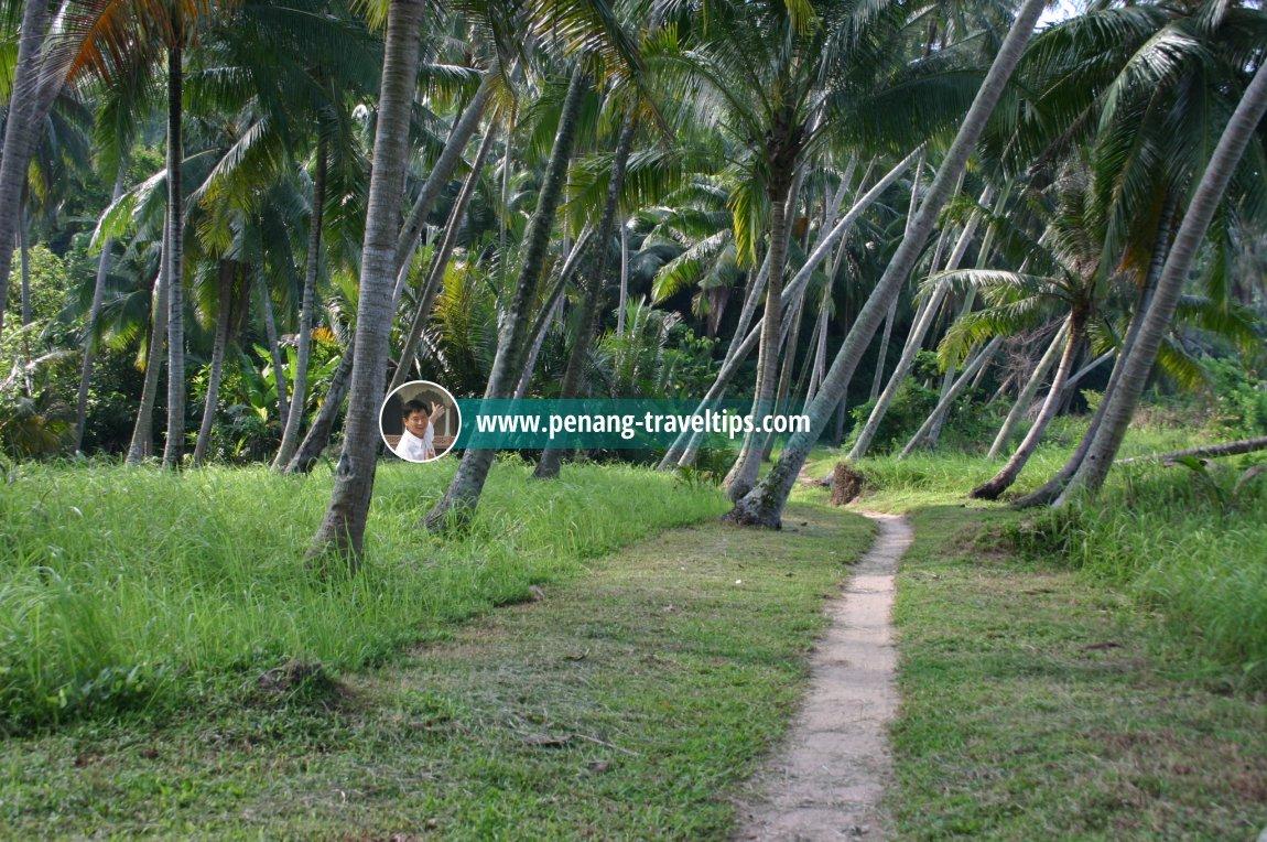 Coconut grove at Permatang Damar Laut