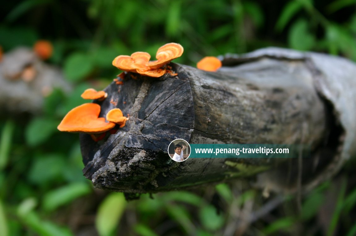Fungus growing on a wood in Permatang Damar Laut