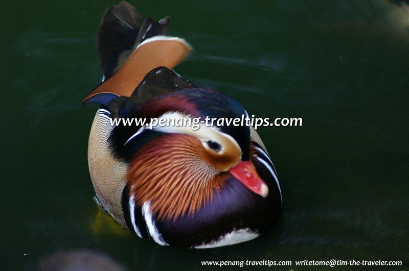 Mandarin Duck, Penang Bird Park