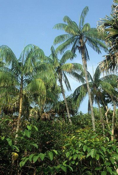Nibung palms (Oncosperma tigillarium), as seen south of Kemaman in Terenggarnu