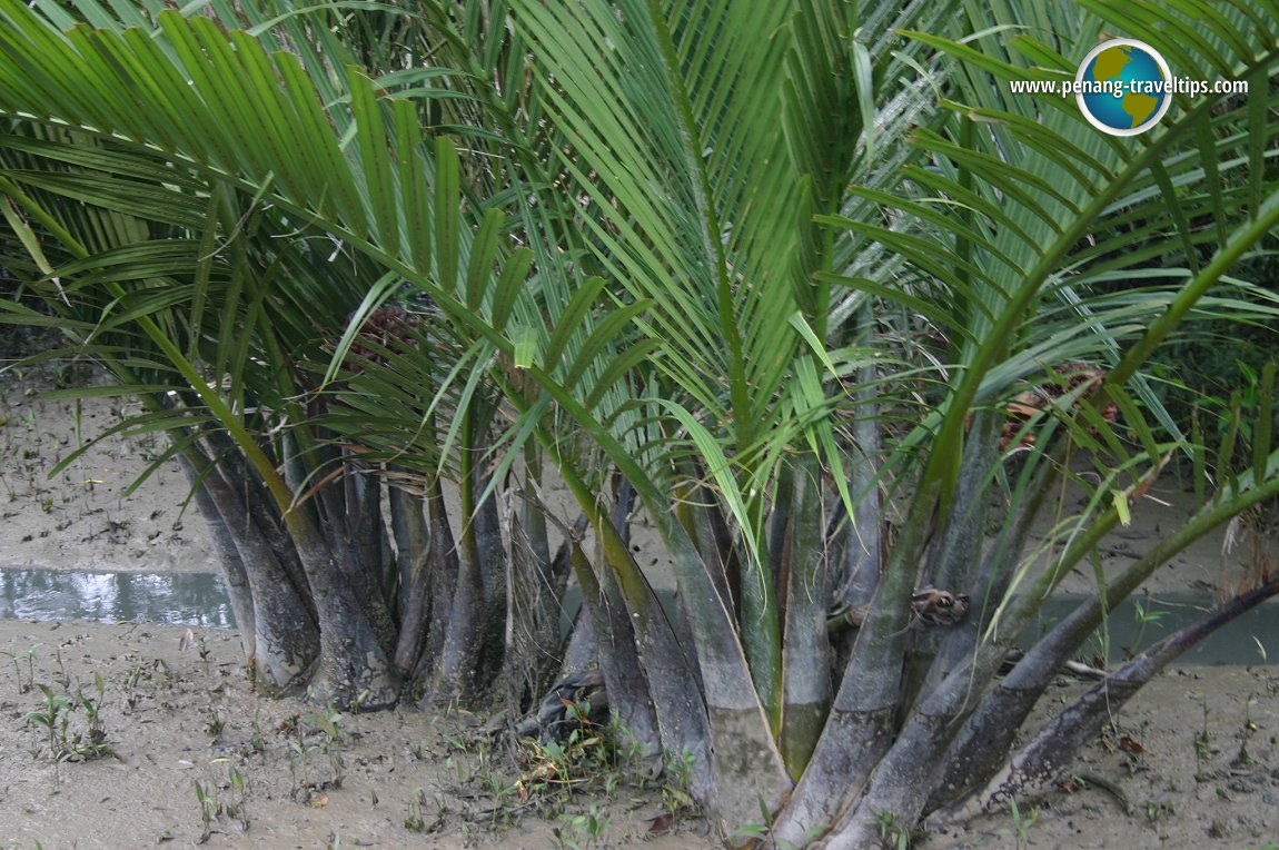 Nipah palms at Sungai Udang Mangrove Forest
