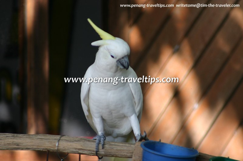Cockatoo parrot, Penang Bird Park