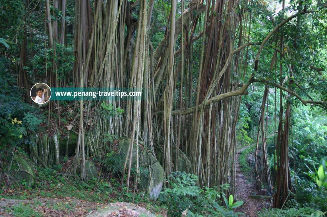 A banyan tree growing beside a forest path in Permatang Damar Laut