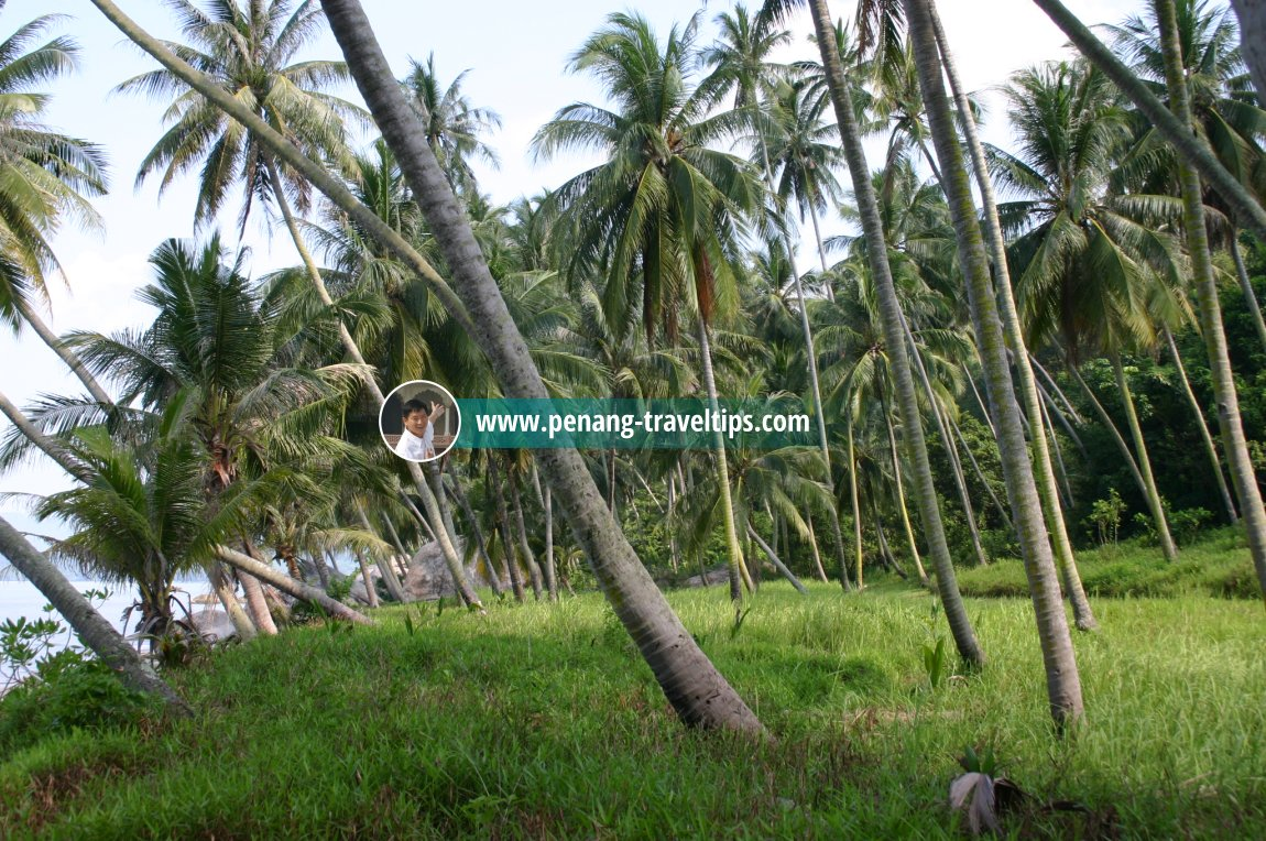 The coconut trees at Permatang Damar Laut