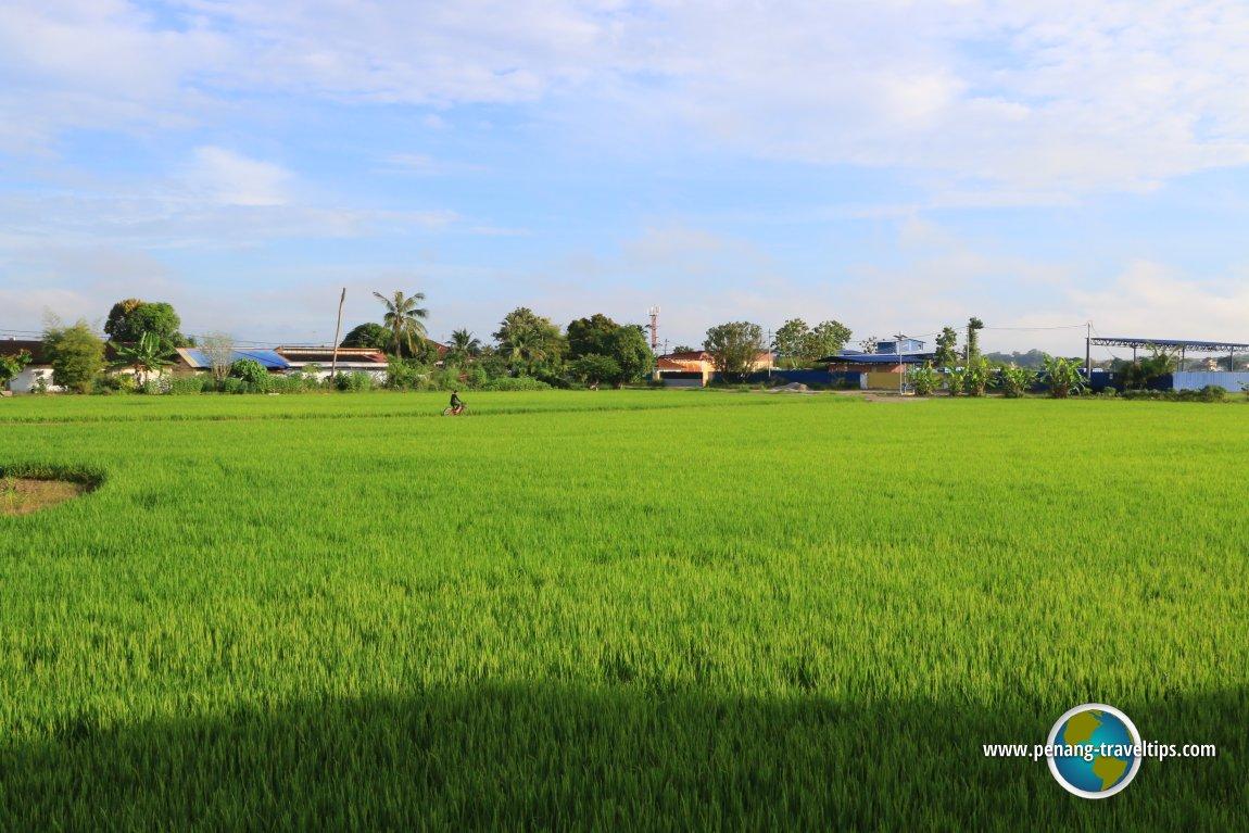 Paddy field in Permatang Pauh
