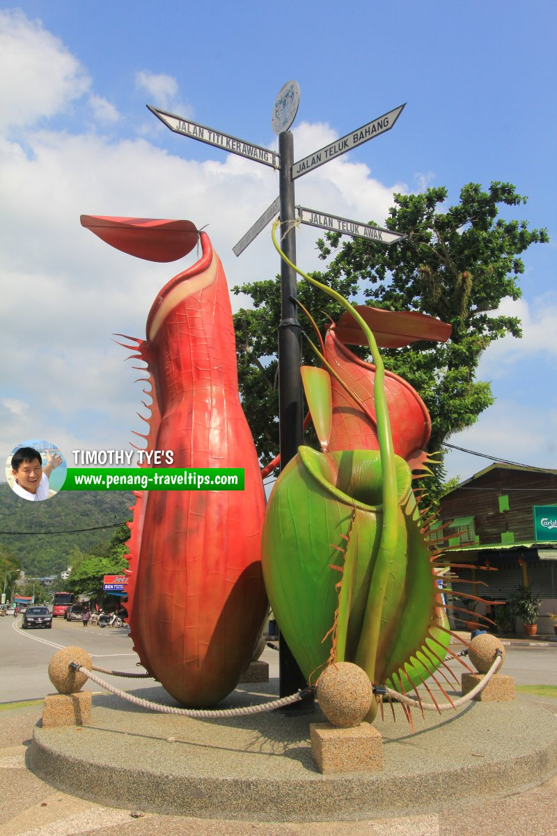 Another view of the Teluk Bahang Roundabout with N. albomarginata (left), N. ampullaria (right) and N. gracilis (behind)