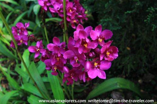 Spathoglottis orchids, National Orchid Garden, Singapore