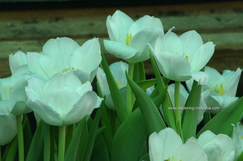 Bukit Larut tulips