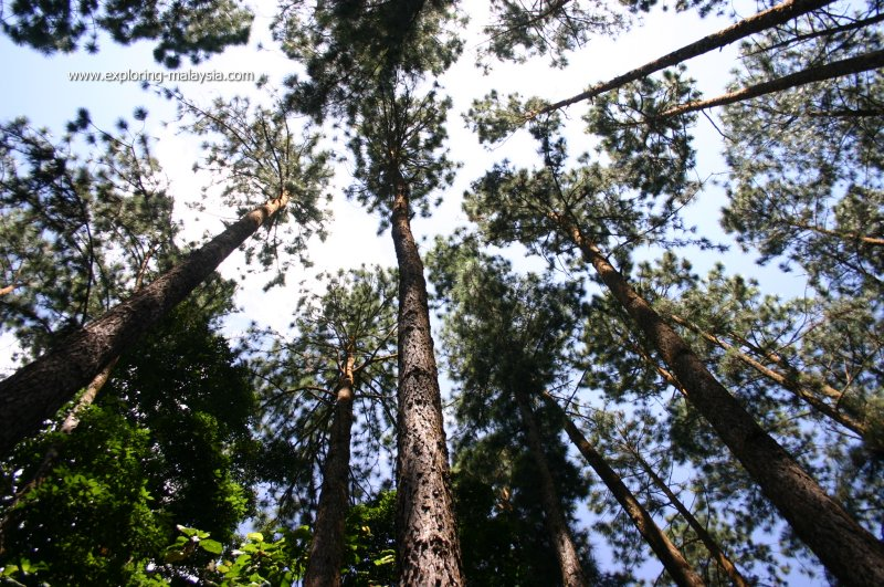 Forest canopy, Fraser's Hill