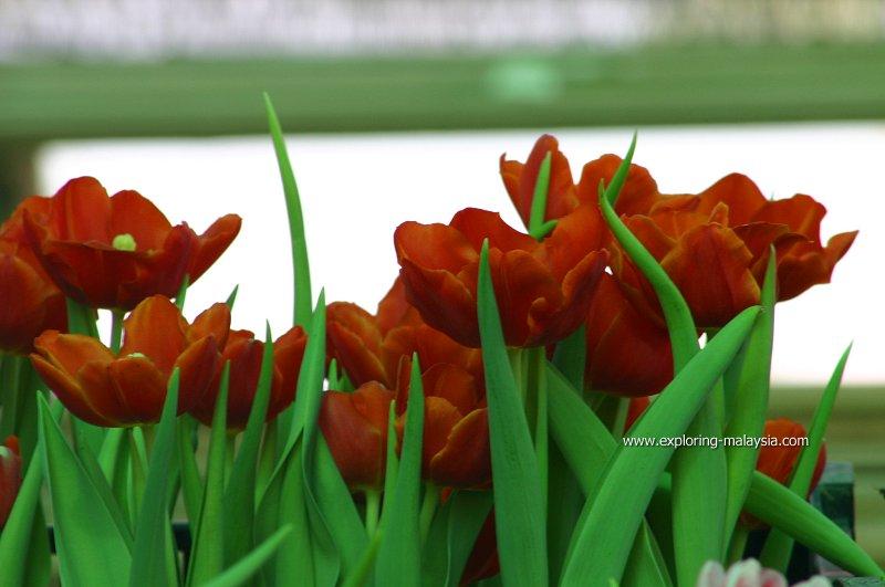 Maxwell Hill Tulips