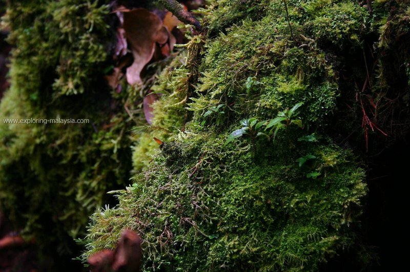 In the mossy forest of Cameron Highlands