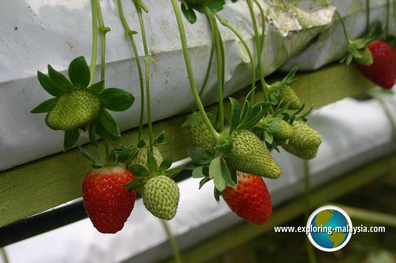Strawberry Farm, Cameron Highlands
