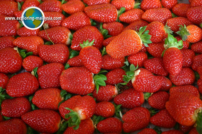 Strawberry Farm, Cameron Highlands
