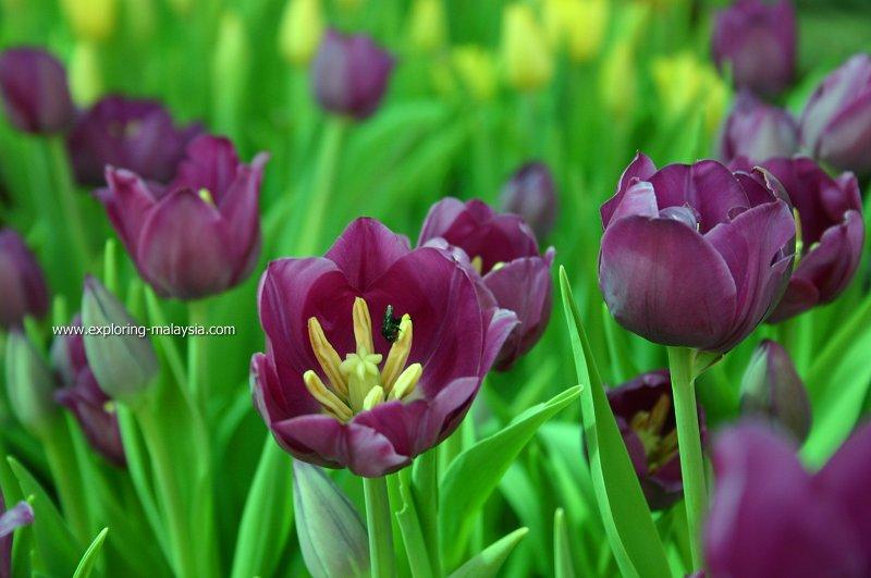 Tulip Bukit Larut