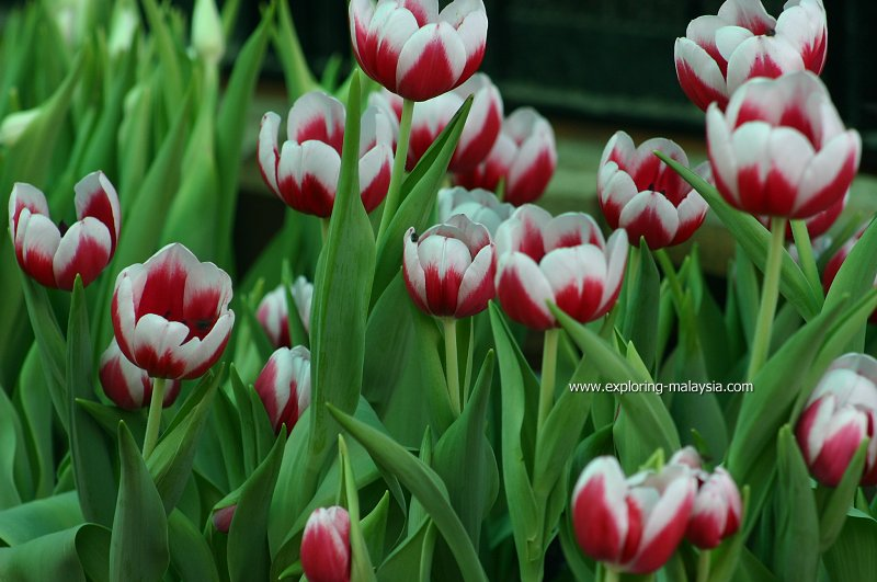 Tulips of Maxwell Hill
