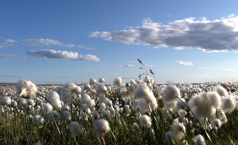 Arctic Cotton in Arviat, Hudson's Bay, Nunavut, Canada