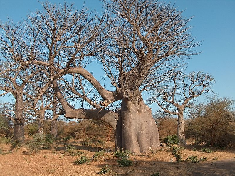 Baobab and Acacia trees in Bandia Reserve, Senegal
