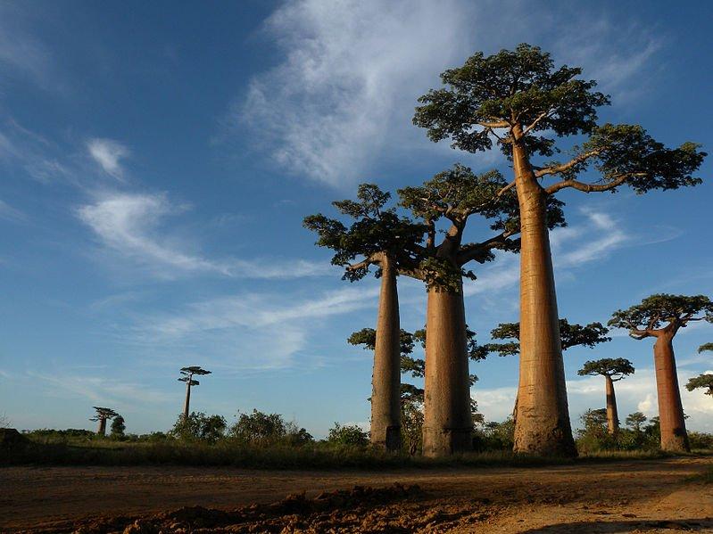 Baobab trees in Morondava, Madagascar