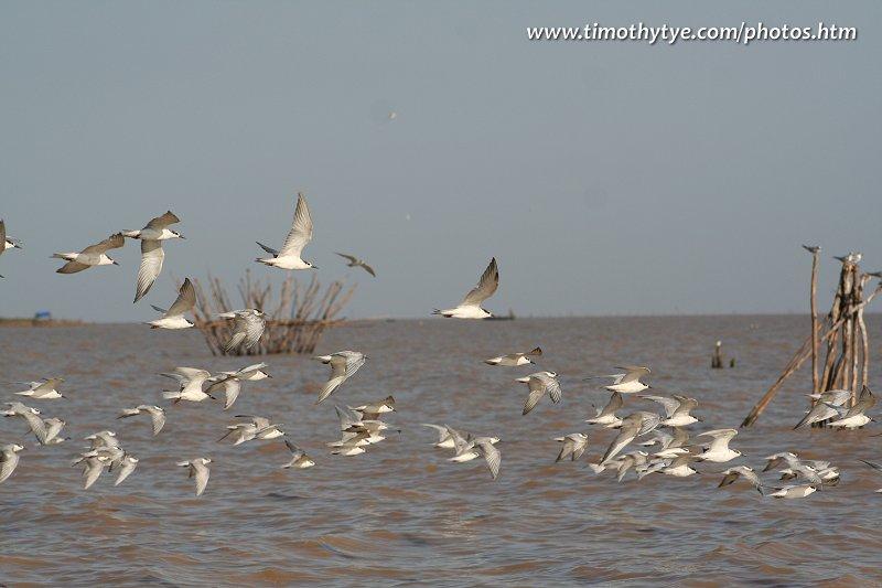 Birds at the Tonlé Sap