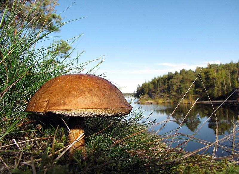 Boletus mushroom, Heinäsaari Island, Lake Saimaa, Finland