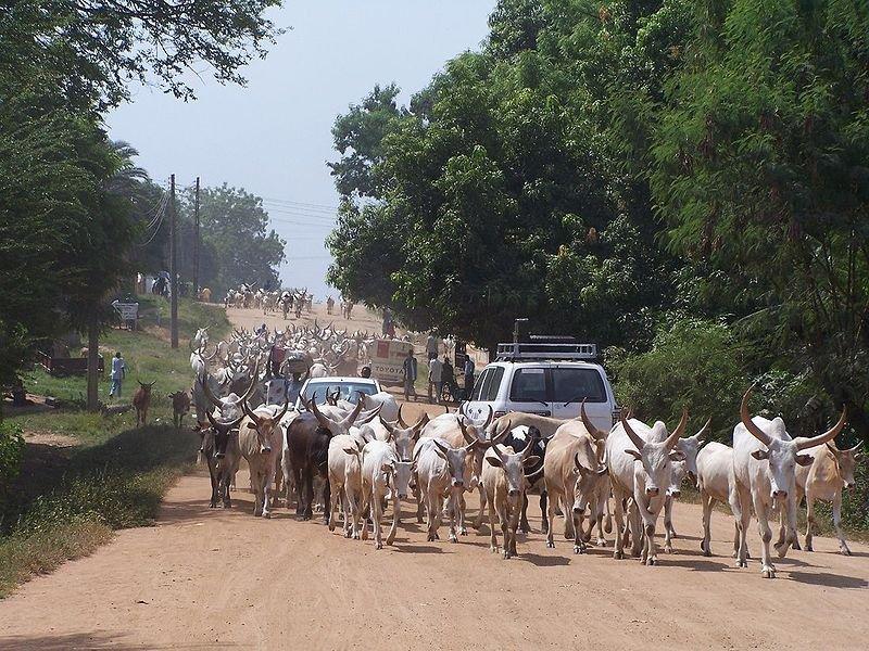 Cattle on the street in Juba, South Sudan