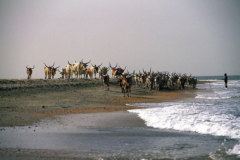 Cattle on a beach near Banjul, Gambia
