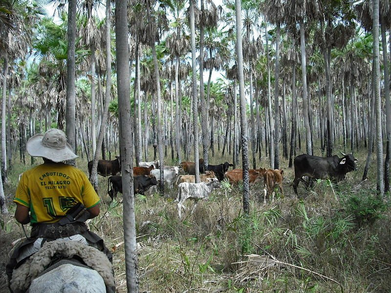 Cattle in the Karanda'y palm tree savannah in the Paraguayan Chaco