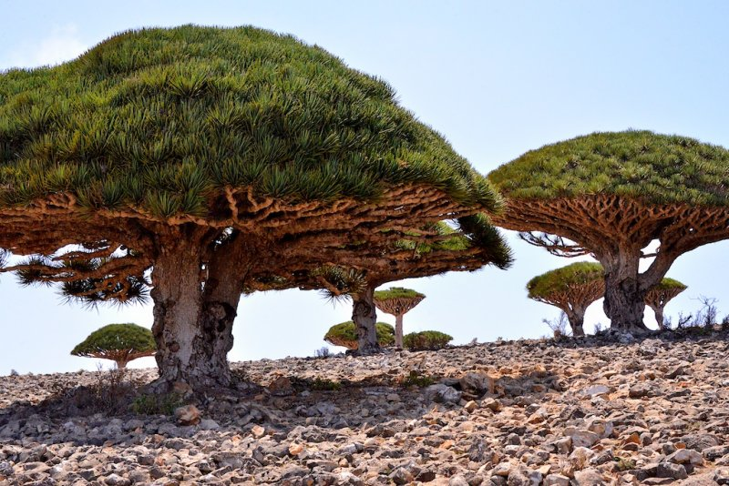 Dragon blood trees on Socotra Island, Yemen