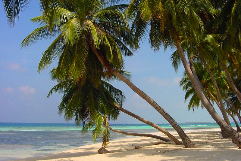 Coconut palms on Île de Maafushi, Maldives