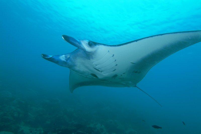 Manta ray off Yap