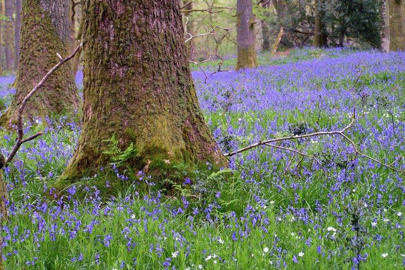 May Bluebells, England