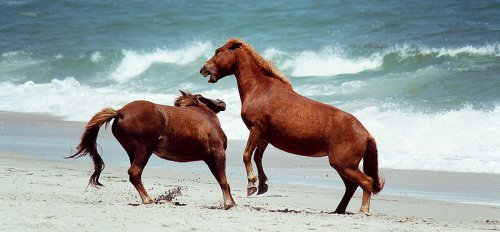 Wild ponies on Assateague Island, Maryland