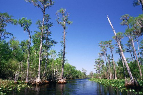 Bald Cypress Swamp, Okefenokee National Wildlife Refuge