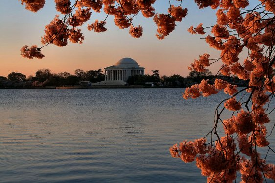 Jefferson Memorial with cherry blossoms at dawn