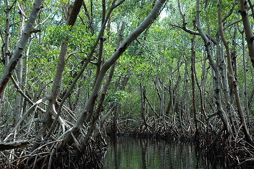 Mangrove near Everglades City, Florida