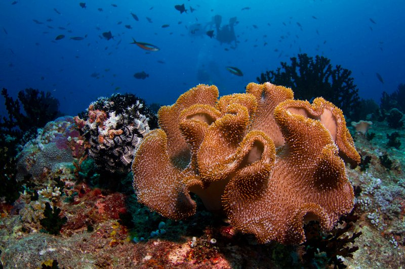 Soft coral, Maldives