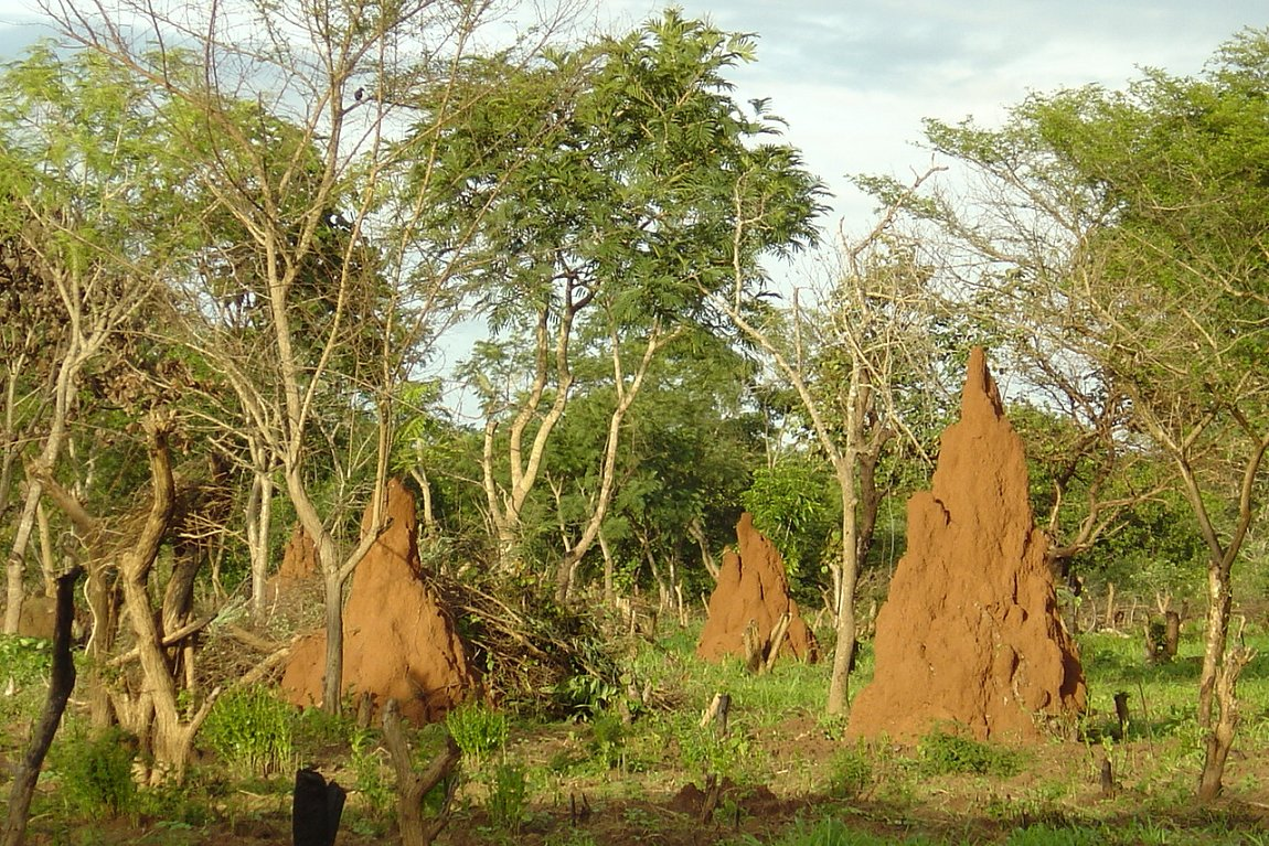 Termite hills in the savanna of Guinea-Bissau