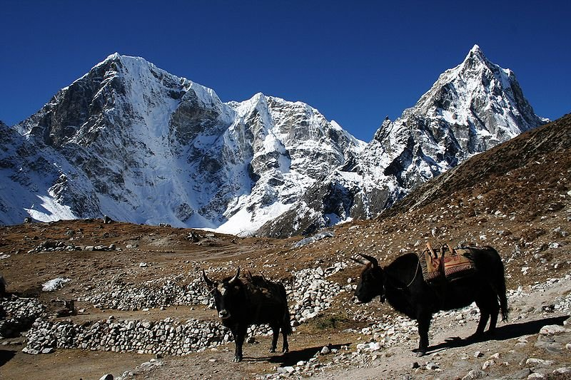 Yaks with Taboche mountain and Cholatse mountain