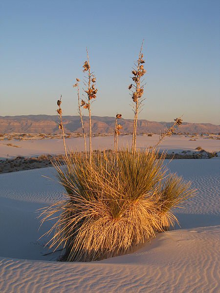 Ycca plat at White Sands National Monument, New Mexico