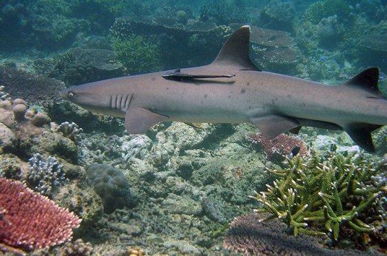 Shark at Tubbataha Reef, Palawan, Philippines