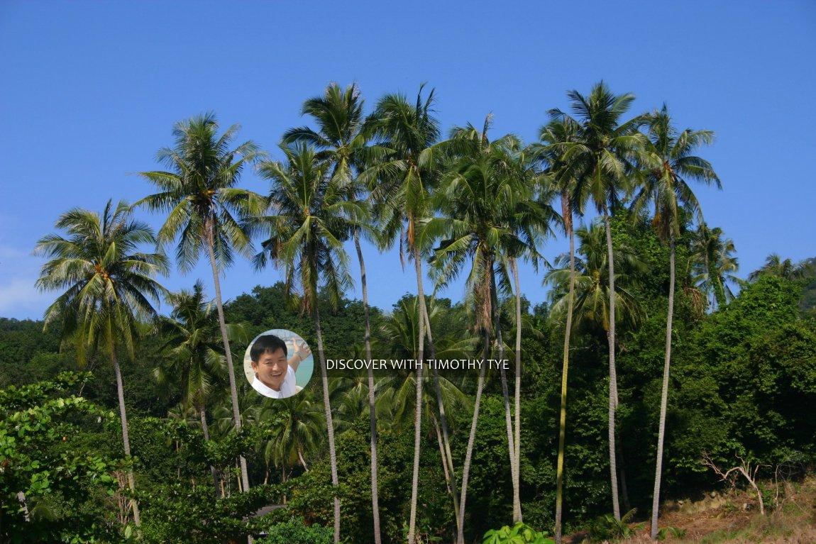 Coconut trees in Gertak Sanggul