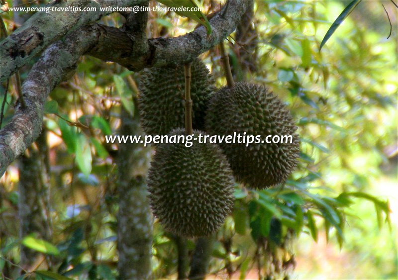 Durians in the tree