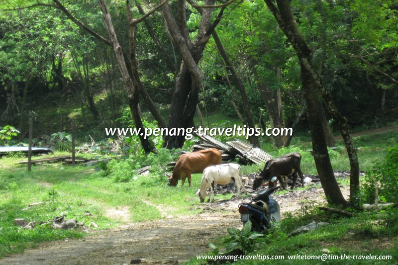 The cattle continue to graze at Kampung Buah Pala