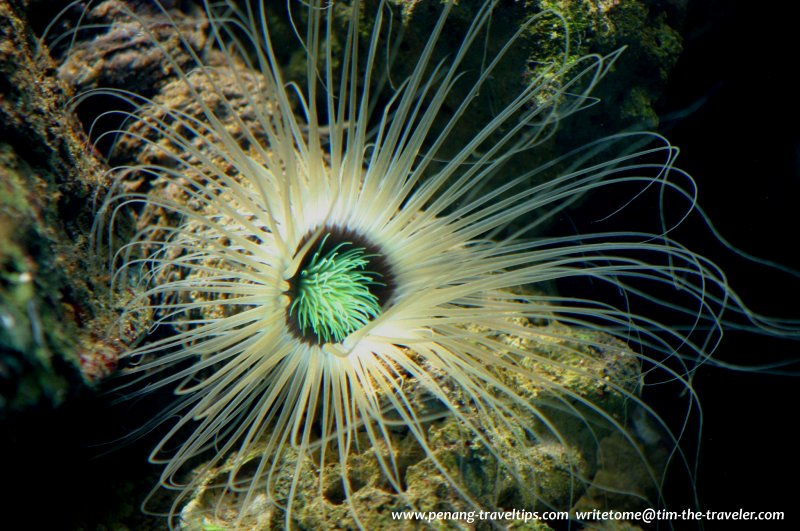 Soft coral, Penang Aquarium